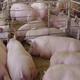 武胜县永胜乡柏化猪业专业合作社出售杂猪,三元猪