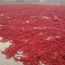 供应河南内黄大量干新一代辣椒