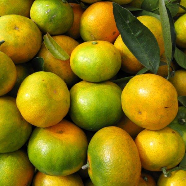 批发贡柑 甜柑桔 农业原产地种植批发柑桔水果