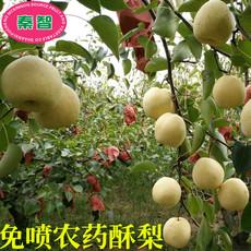 陕西特产蒲城酥梨自有基地种植好吃甜多汁有机新鲜水果免喷农药酥梨5斤8斤包邮装