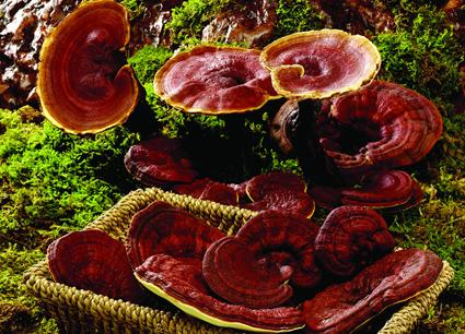 脱浊纯洁无味的灵芝孢子油成效不如食用植物油