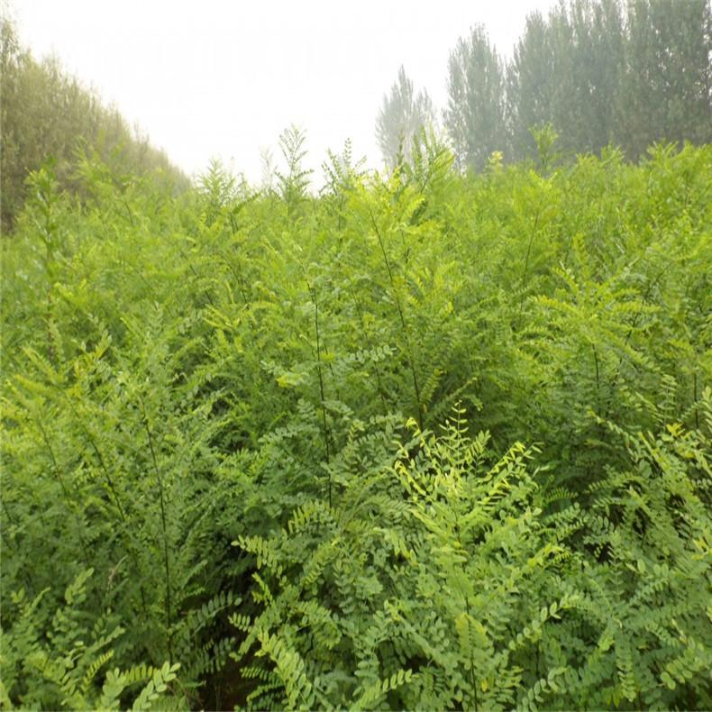 多规格国槐树 长期批发 供应高成活率国槐树 国槐树