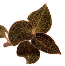野生环境种植金线莲 滋补养生金线莲大叶鲜品