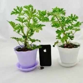 出售盆栽 室内盆栽 驱蚊草苗 不含盆 进化空气