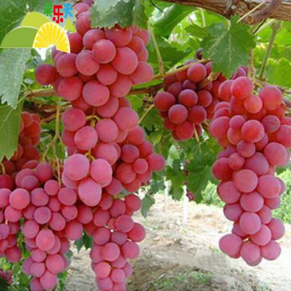 桂林市企业名录 店铺首页 产品供应 > 供应新鲜红提 红宝石葡萄广西