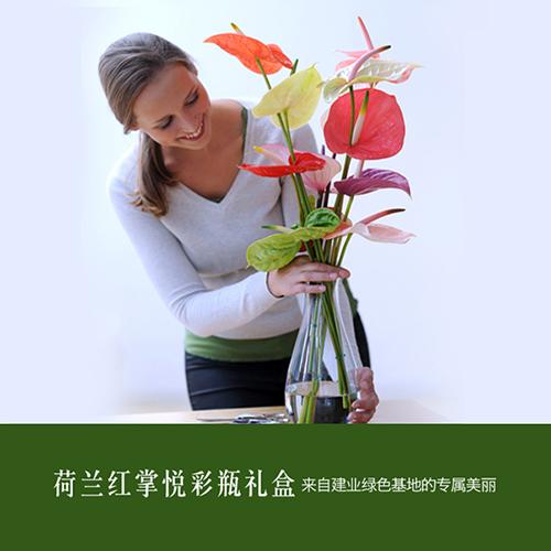 荷兰红掌切花悦彩瓶礼盒 高档鲜切花 建业绿色基地直供
