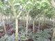 供应魔芋种子 富滇芋优质脱毒魔芋种子 云南花魔芋种子5-30克 免费提供种植技术指导 合同保底价回收
