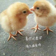 多蛋鸡苗 后蛋鸡苗 粉蛋鸡苗
