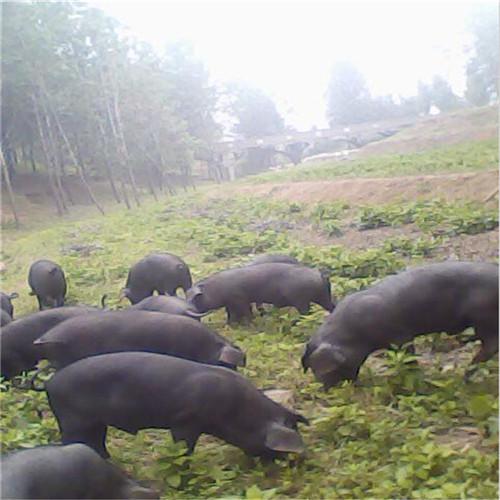 供应 特种黑猪/种猪绿色