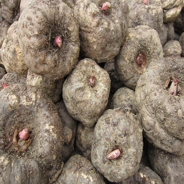 魔芋种子 1代魔芋种子 山阳县东山魔芋种植基地直销