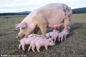 生猪产品价格行情继续上涨!