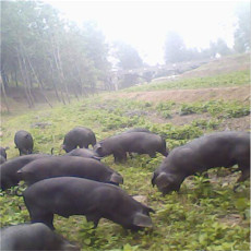供应 特级原生态黑猪
