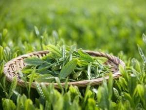 一级茶品绿茶碧螺春