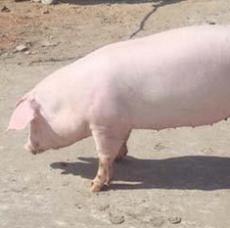 猪 良种猪 农村养殖优质种猪 农家健康多瘦肉土杂猪