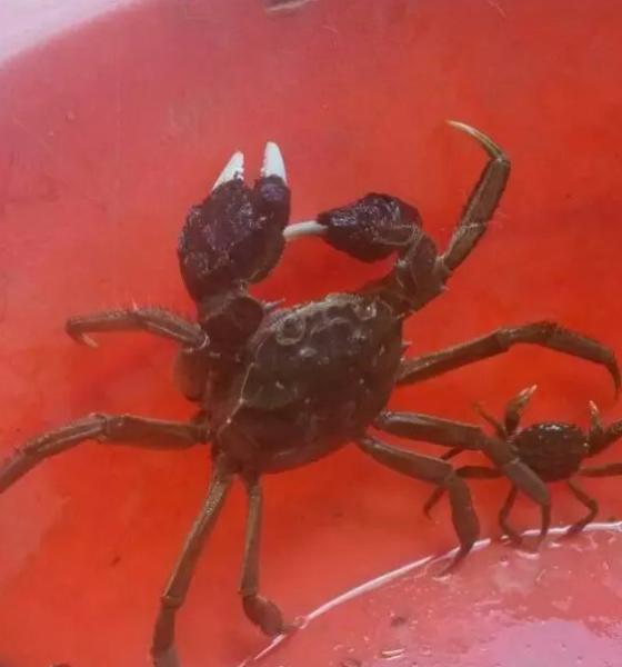 批发养殖活现货水产海鲜 优质高产野生河蟹蟹苗 大闸蟹螃蟹