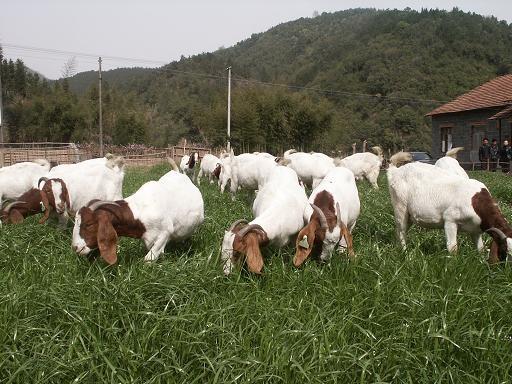 驻马店羊场养羊【种养】【驻马店纯种波尔山羊】
