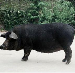供应太湖猪