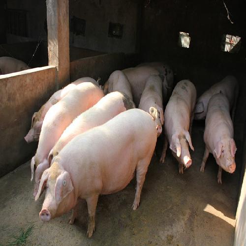 生猪养殖销售