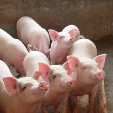 生猪仔肉猪 大量供应