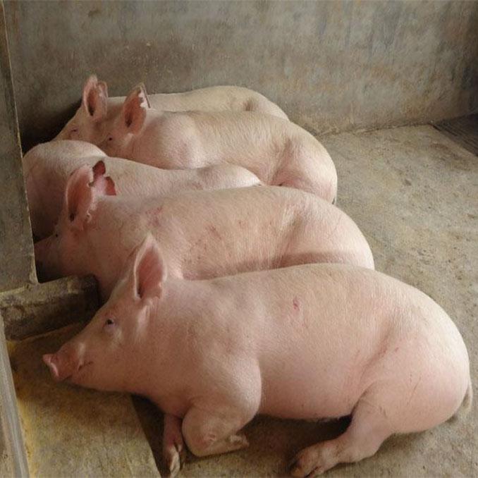 肉猪大量批发