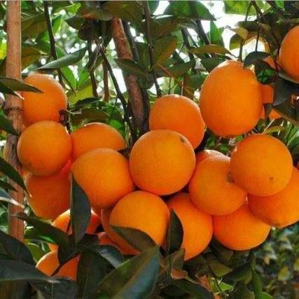 优质果品纽荷尔脐橙 果皮美 肉质甜 口感佳【自家种植约500亩