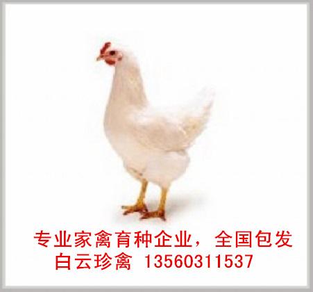 厂家罗曼粉壳蛋鸡苗价格,国内专业育种公司罗曼粉壳蛋鸡苗批发