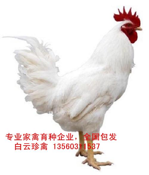 白鸡苗厂家批发,全国包发白鸡苗价格实惠