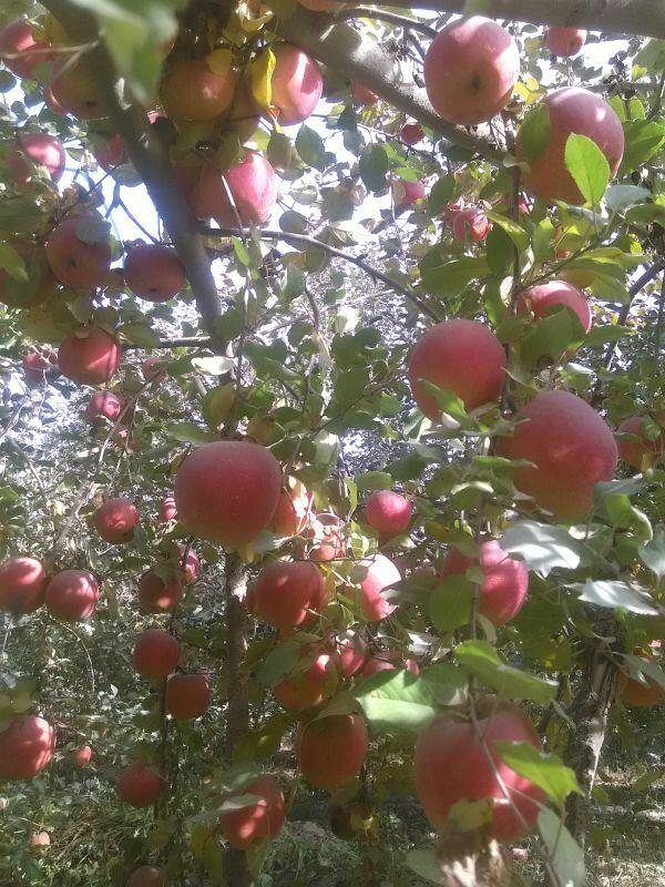 正宗 新鲜新鲜水果  甜甜果
