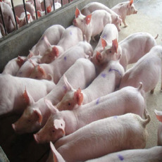 生猪肉猪大量供应