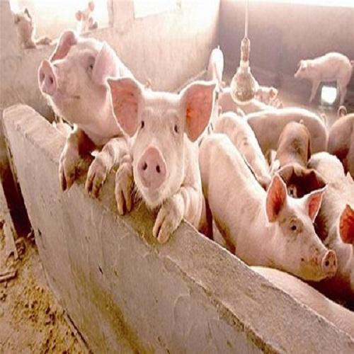 山阳县格润养殖猪