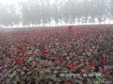 北京叢生紫葉矮櫻,直銷叢生紫葉矮櫻