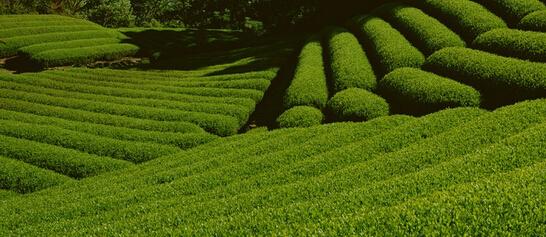 专家建议推广茶叶有机肥以解决农残