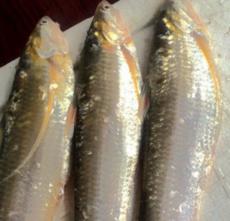正宗巢湖鲜活水产品鱼类批发零售500克包邮