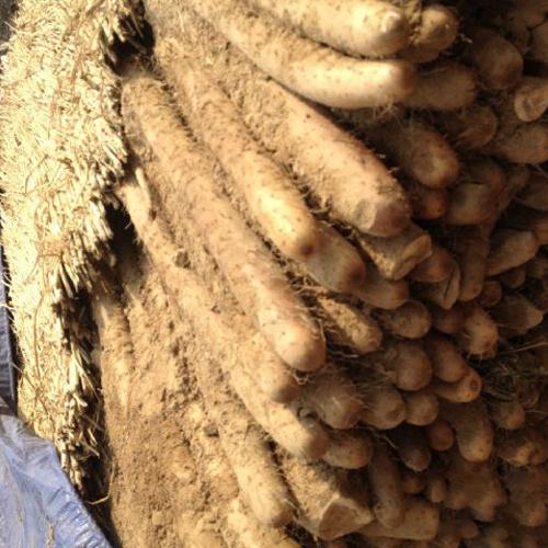 山东聊城白玉山药农家自家种植新鲜白玉山药批发