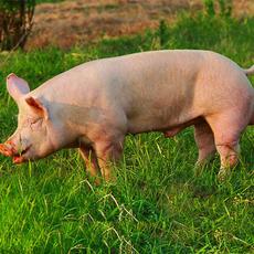 公司养殖 新美系大白公猪
