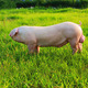 公司养殖 新美系长白公猪