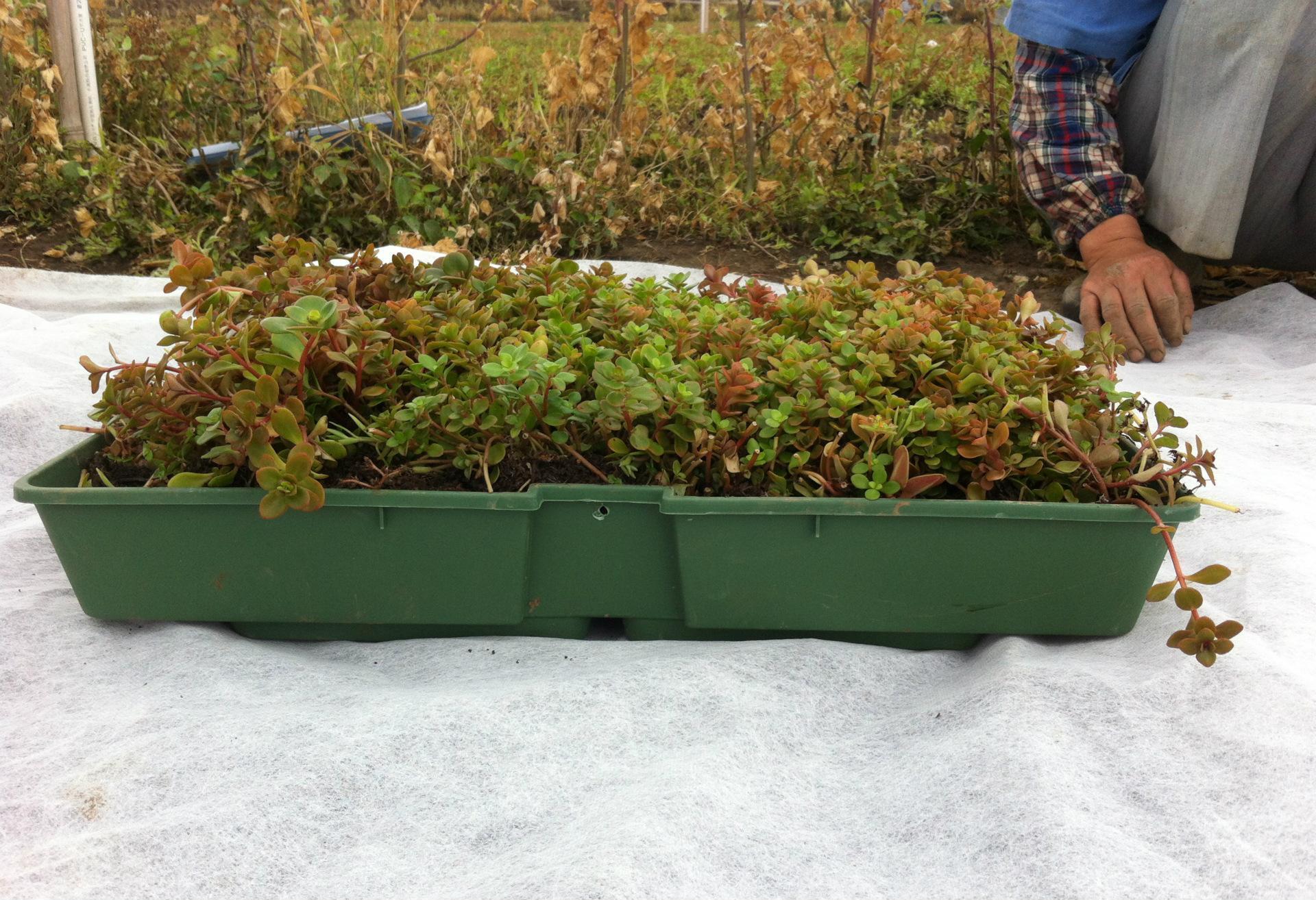 凹叶景天容器屋顶绿化专用可移动可拆卸图片