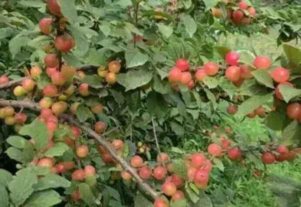 黑龙江抗寒樱桃树