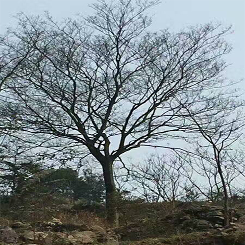 常德朴树哪里多?