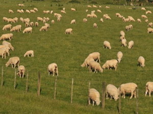隆盛无公害散养猪牛羊鸡厂家 供应呼和浩特有品质的隆盛无公害散养猪牛羊鸡