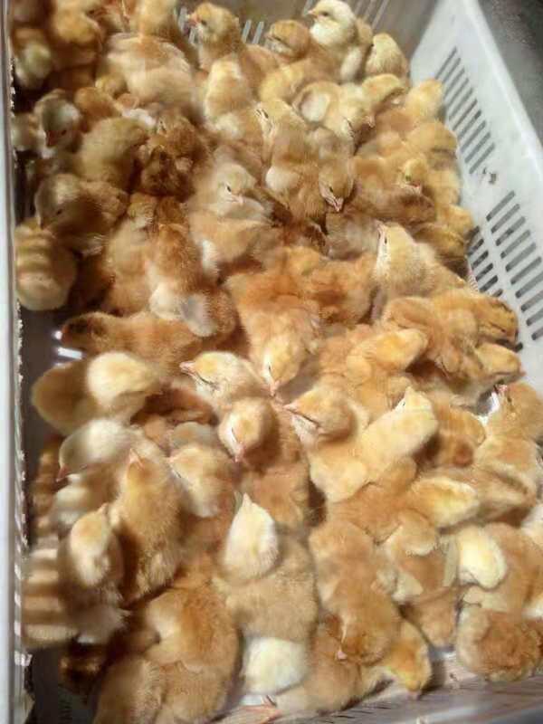 青島優質九斤黃雞苗批發 成活率高九斤黃雞苗