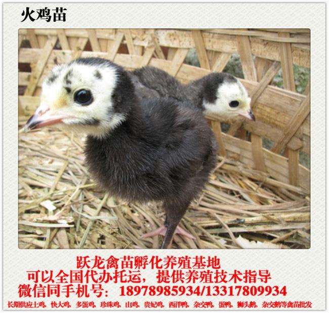 广西哪里供应的南宁火鸡苗好,贺州火鸡苗哪里买