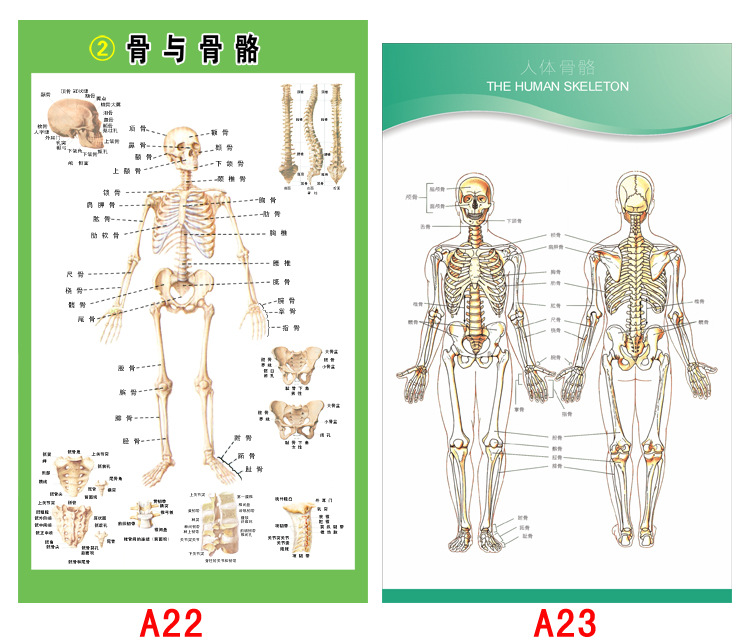 色人体高清_人体肌肉骨骼解剖图高清海报定制供应商广州索色喷绘有限公司,为您