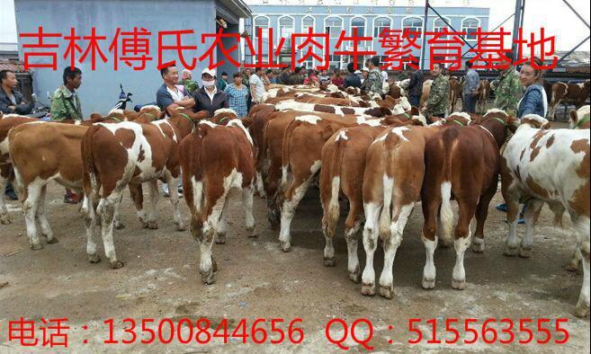 肉牛品种杂交西门塔尔夏洛莱利木赞牛肉牛牛犊2
