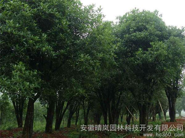供应桂花树1