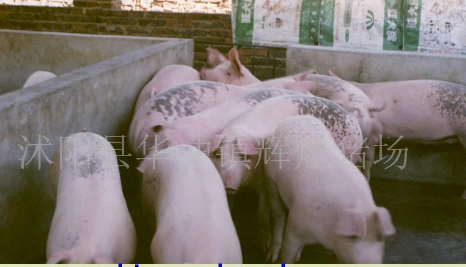 大量三元仔猪特价出售