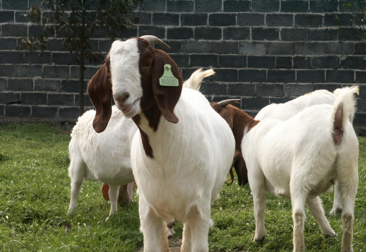 800斤波尔山羊图片