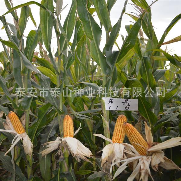 批量供应优质粮食种子 玉米种子东岳116号 丰产 好管理 健康绿色图片