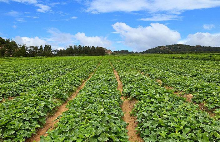 西瓜育種的作用
