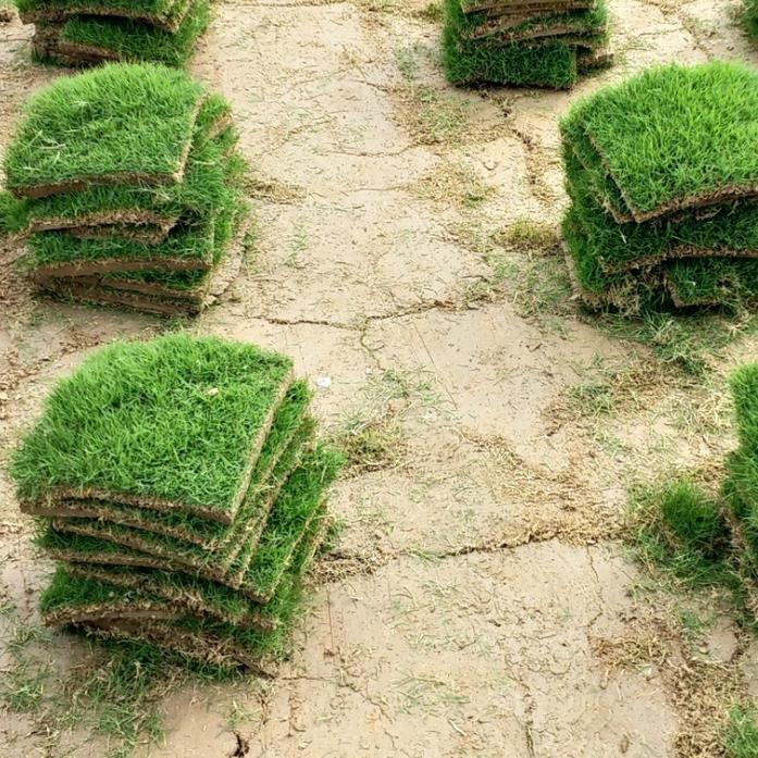 供应  优质土培矮生百慕大草坪 天然草皮 地被草 成活率高 量大价优